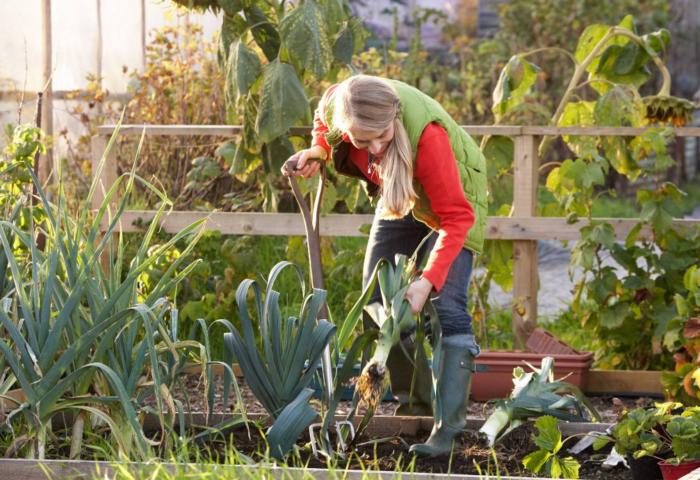 Läsarberättelse: Att odla och njuta på kolonilotten är min räddning Foto: Shutterstock