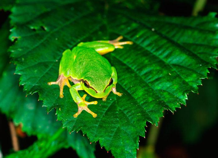 Lövgrodan är bara fem centimeter och ryms gott och väl på ett litet blad.