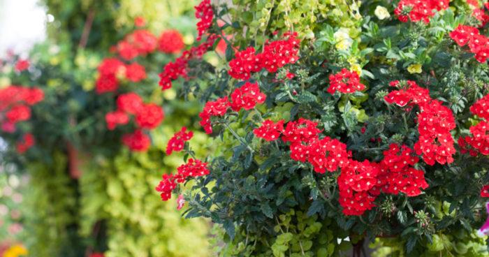 Trädgårdsverbena 'Lanai Scarlet with Eye' trivs både i sol och skugga, gillas av både fjärilar och bin.