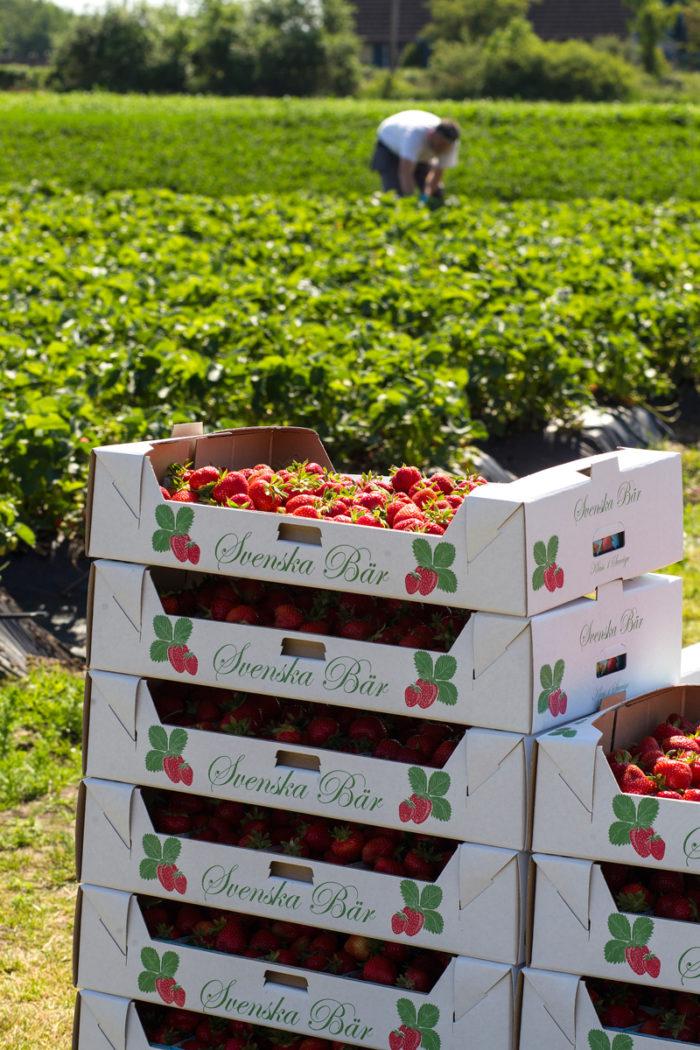 Efter värmen kommer det att finnas gott om svenska jordgubbar i handeln till midsommar