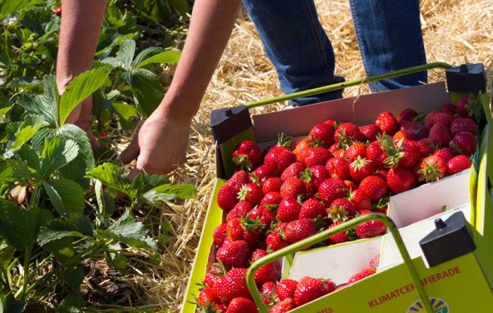 Det finns gott om svenska jordgubbar i år