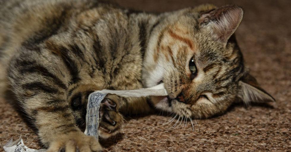 Kattbeteende